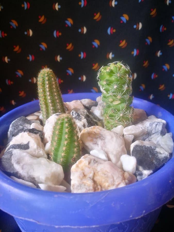 Cactus del bambino fotografia stock libera da diritti