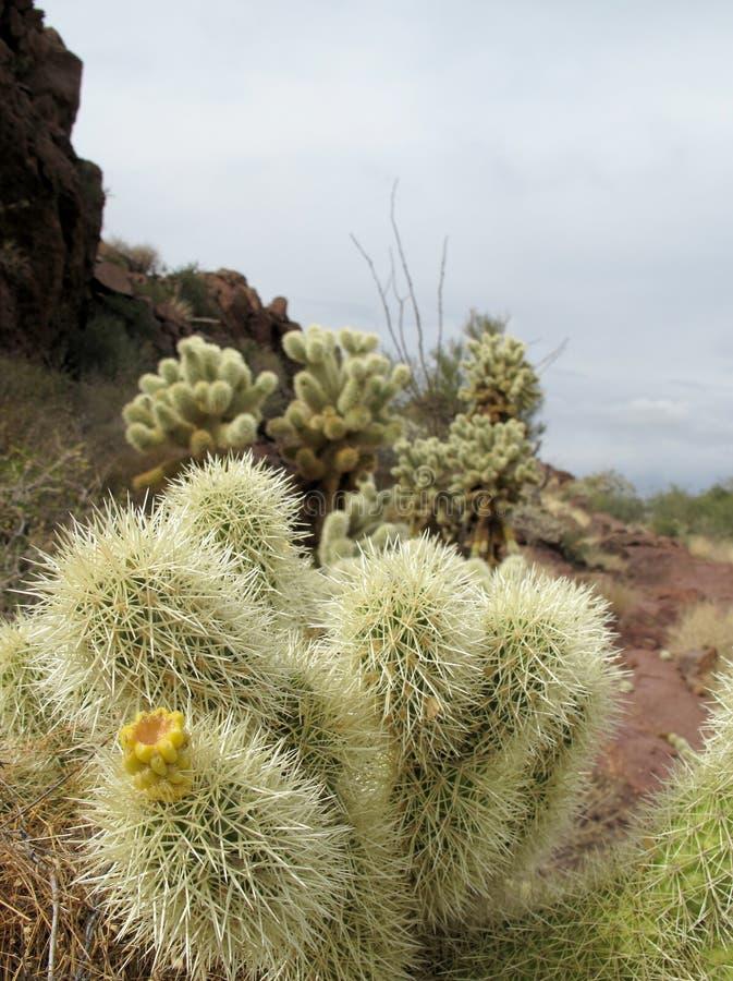 Cactus del cholla del oso de peluche en el monumento nacional del cactus del tubo de órgano, Arizona, los E.E.U.U. fotos de archivo