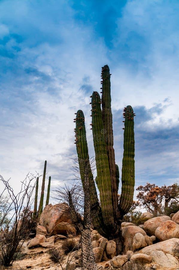 Cactus del desierto foto de archivo libre de regalías