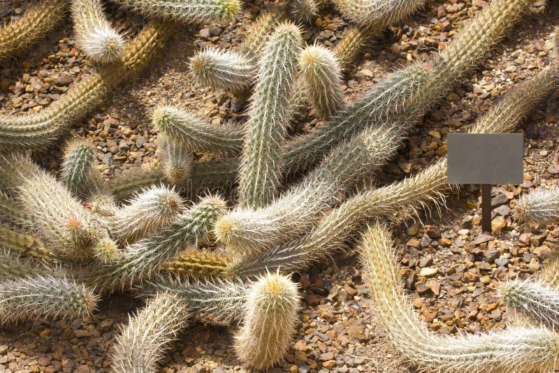 Cactus del diavolo di strisciamento fotografia stock