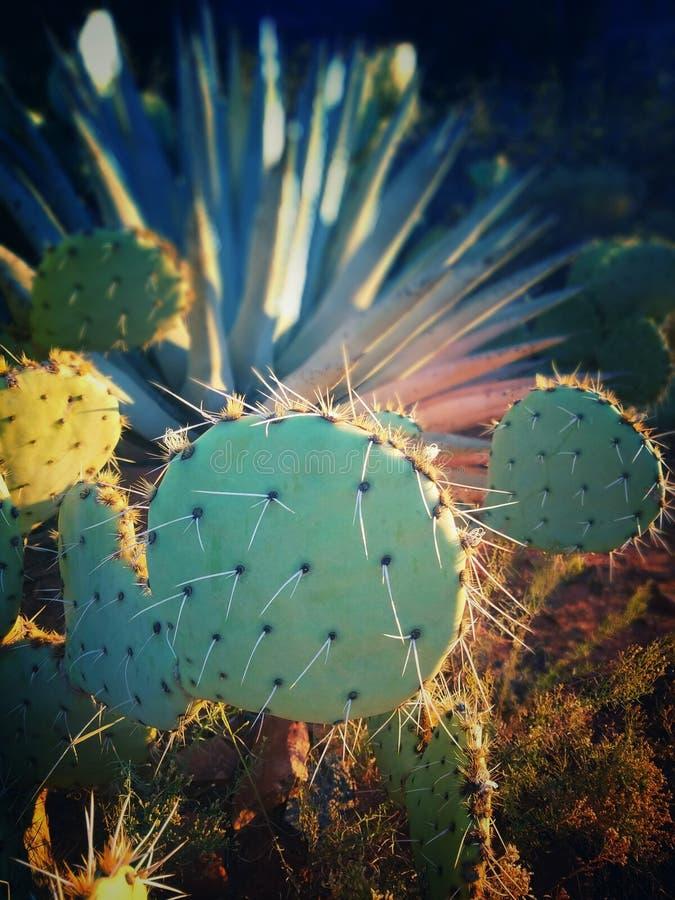 Cactus del empuje fotografía de archivo
