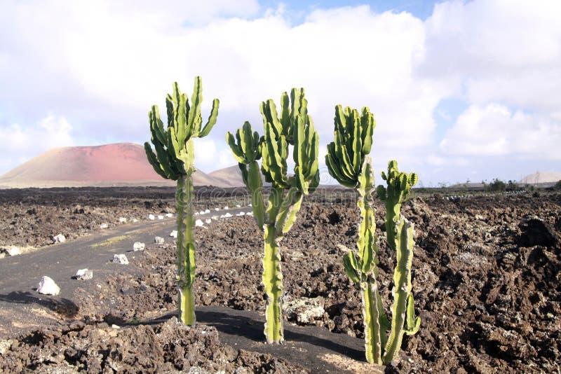 Cactus del euforbio que crece en la tierra de la lava delante del volcán rojo en Timanfaya NP, Lanzarote, islas Canarias fotografía de archivo