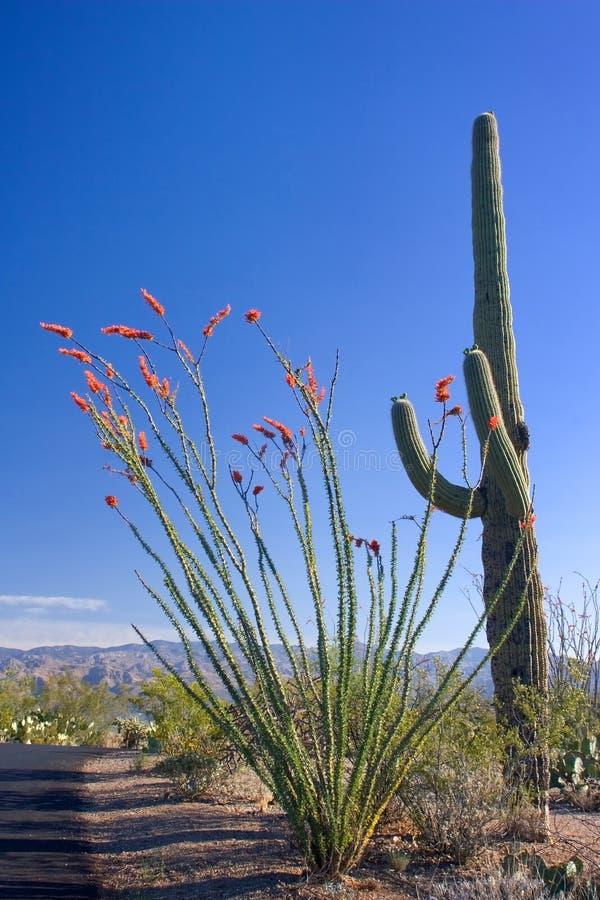 Cactus del Ocotillo e del Saguaro fotografia stock libera da diritti