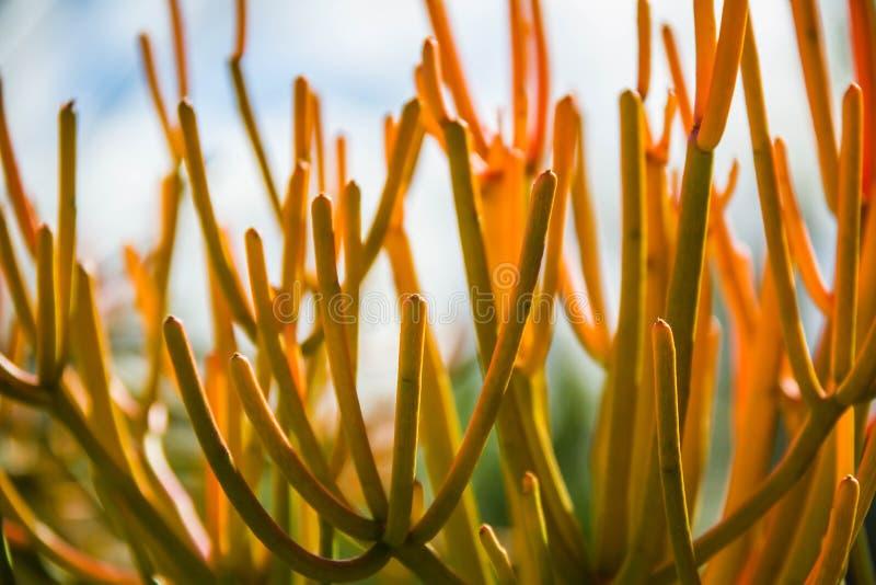Cactus del palillo del fuego imagen de archivo