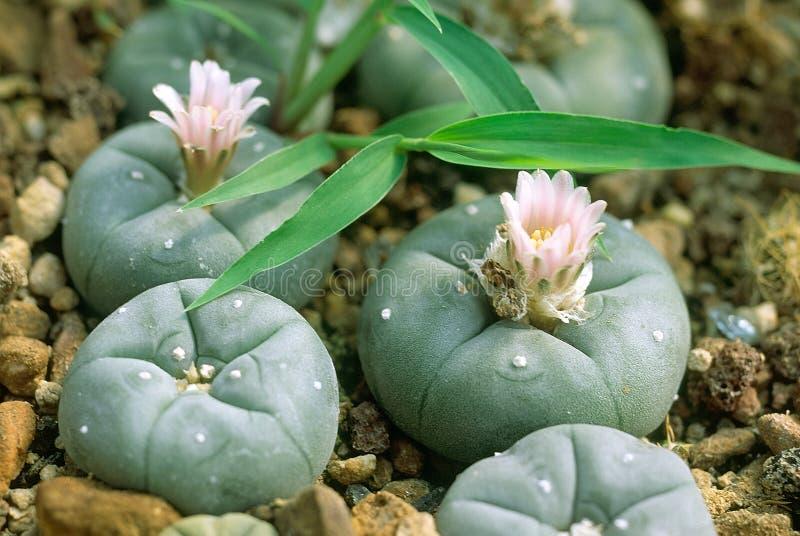 Cactus del Peyote en flor foto de archivo