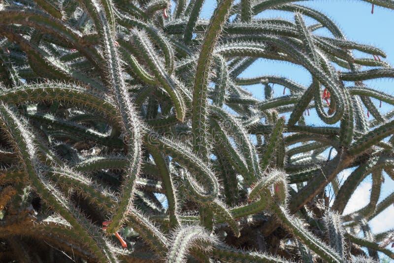Cactus del polipo immagini stock libere da diritti