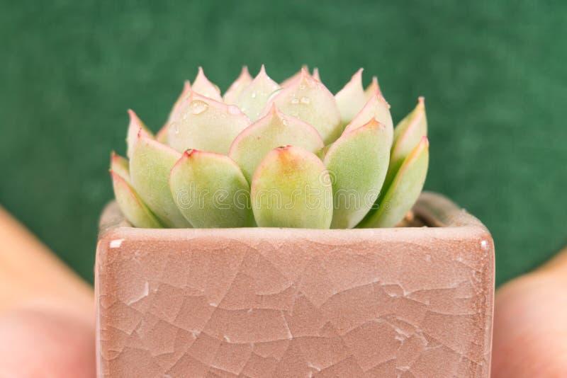 Cactus del primo piano nella tenuta del vaso sulla mano delle donne con lo spazio della copia, giorno ambientale fotografia stock libera da diritti