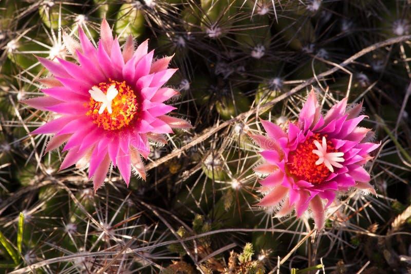 Cactus del puntaspilli nel primo mattino alla grande pietra NWR fotografia stock libera da diritti