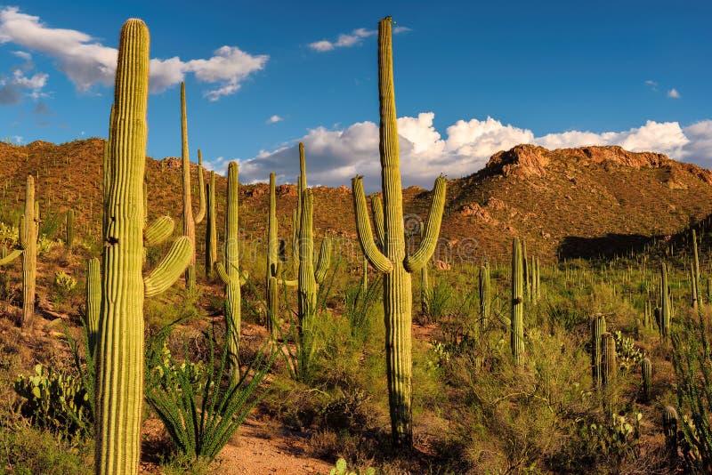 Cactus del saguaro al tramonto nel parco nazionale del saguaro vicino a Tucson, Arizona immagine stock libera da diritti