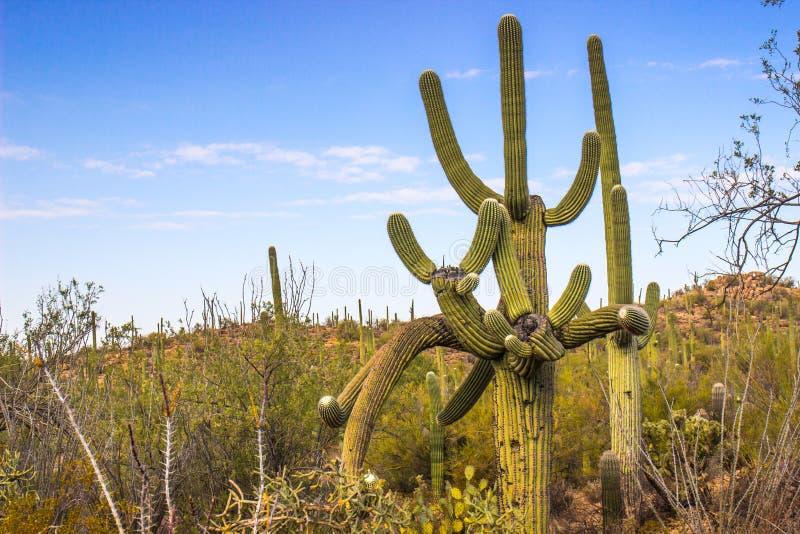 Cactus del Saguaro con los brazos que van muchas maneras foto de archivo libre de regalías