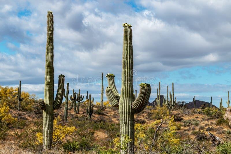 Cactus del Saguaro en el coto del rancho de los marrones en Scottsdale imagen de archivo libre de regalías