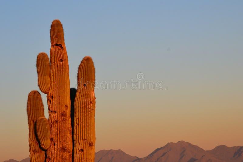 Cactus del Saguaro en la puesta del sol imagen de archivo