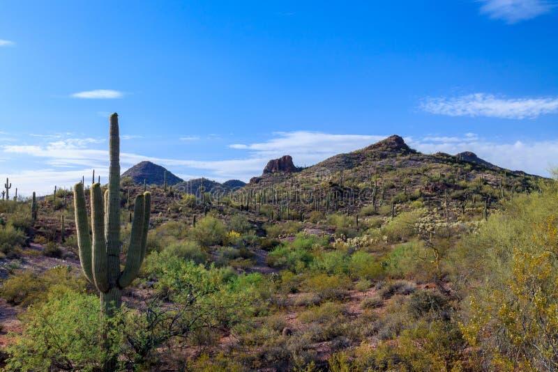 Cactus del saguaro, panorama del deserto di Sonoran fotografia stock libera da diritti