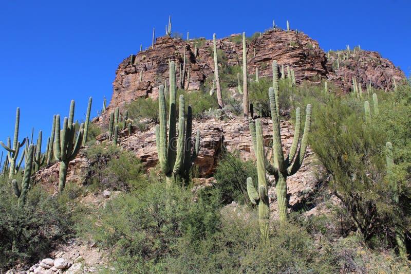 Cactus del Saguaro, parque nacional de Saguaro, desierto de Sonoran, Arizona fotos de archivo