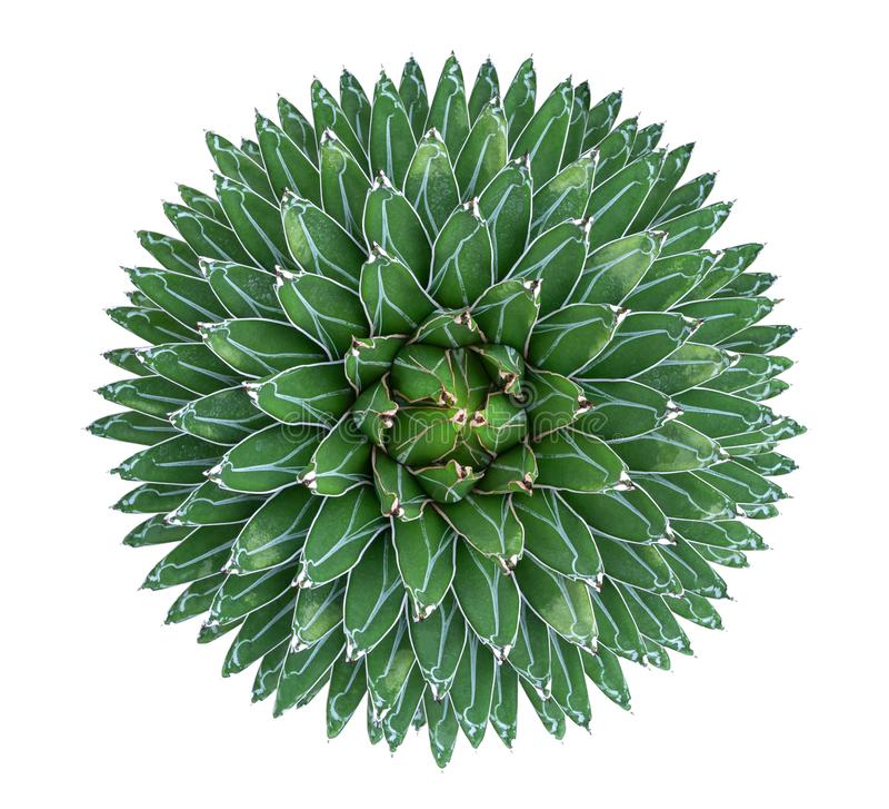 Cactus del succulente dell'agave della regina Victoria di victoriae-reginae dell'agave immagine stock libera da diritti