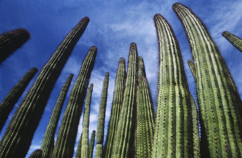 Cactus del tubo de órgano de los E.E.U.U. Arizona contra la opinión de ángulo bajo del cielo fotografía de archivo libre de regalías