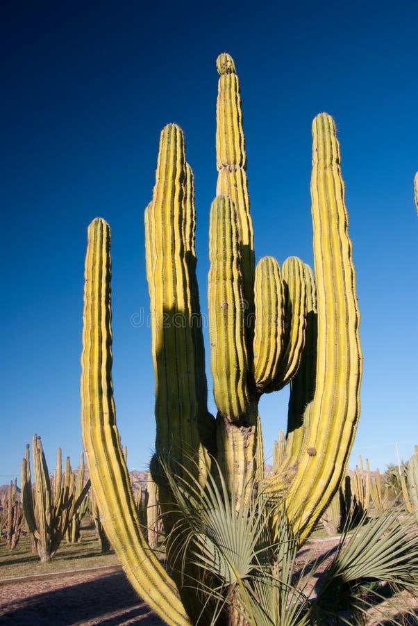 Cactus del tubo di organo fotografia stock
