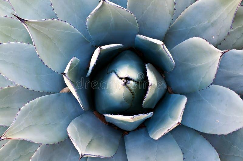 Cactus dell'agave fotografia stock libera da diritti