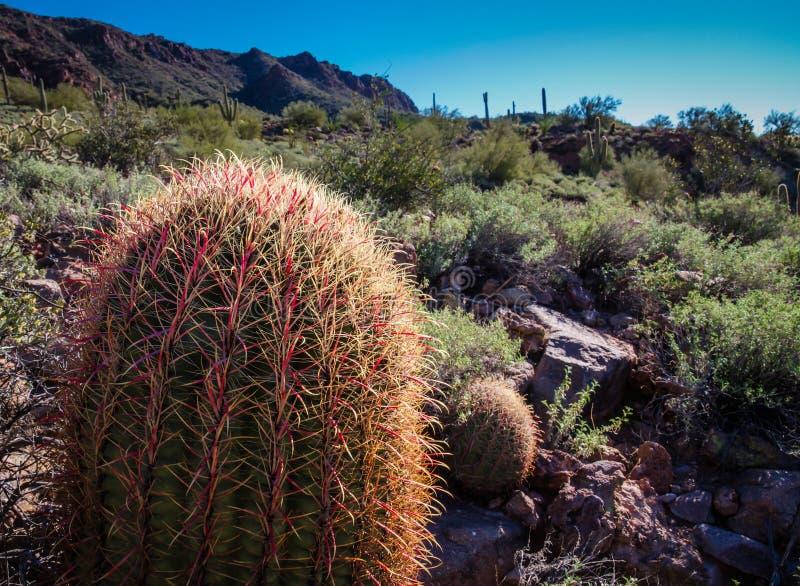 Cactus dell'amo fotografia stock libera da diritti
