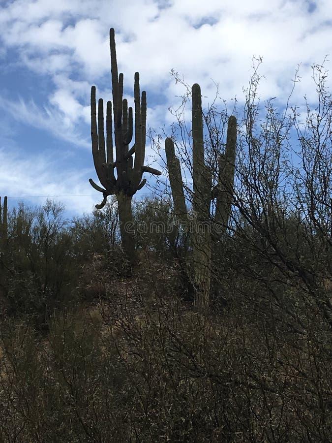 Cactus dell'Arizona fotografia stock libera da diritti