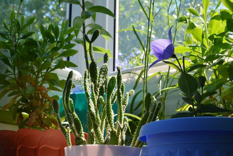 Cactus dell'opunzia, fiore del platycodon e osteospermum nell'inverdimento del balcone fotografia stock