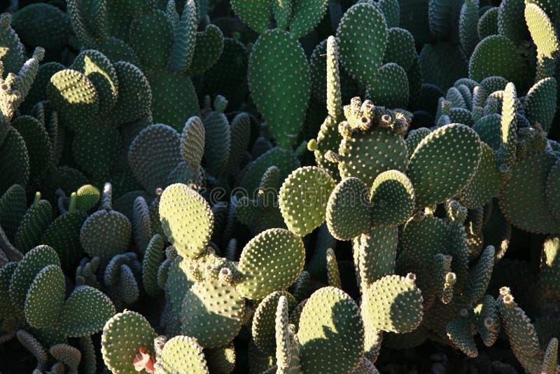 Cactus dell'orecchio del coniglietto fotografia stock