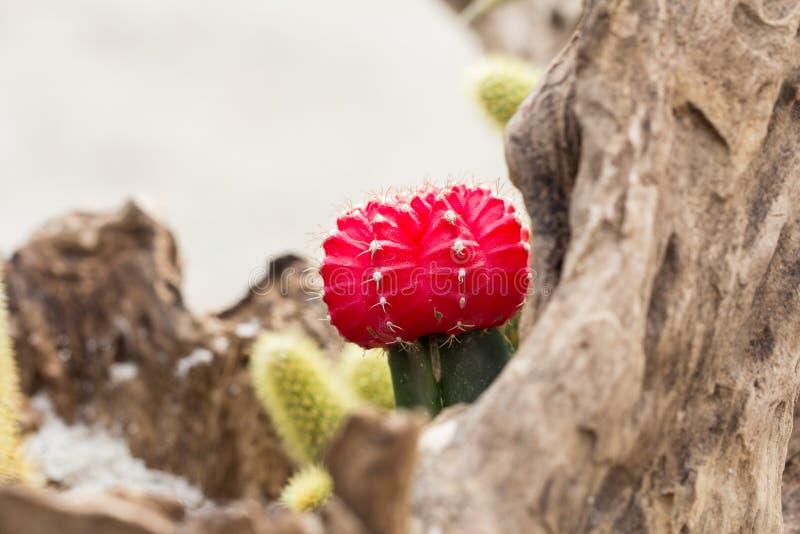 Cactus della pianta immagini stock
