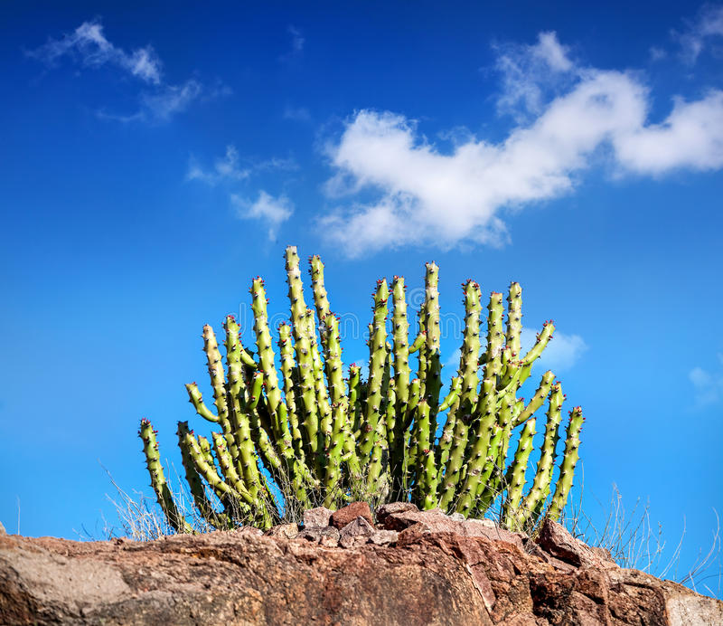 Cactus in the desert at blue sky royalty free stock photo