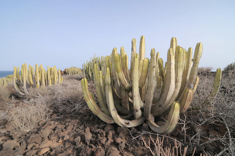 Cactus In the Desert. Succulent Cactus Plant In the Desert, in Canary Islands, Spain stock photography