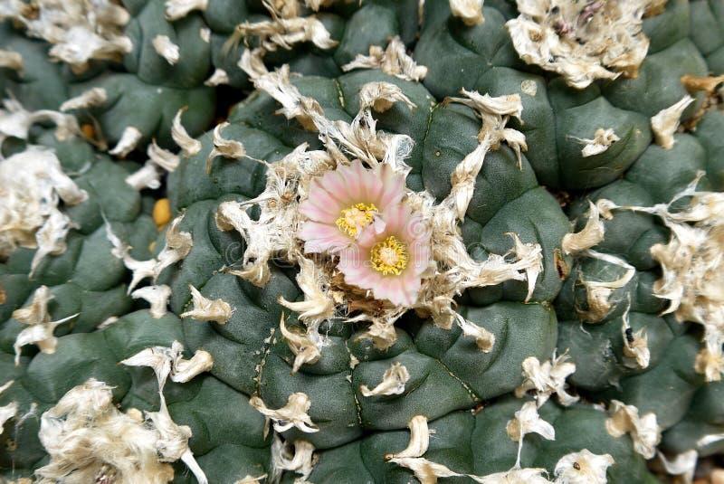 Cactus: detalle de la flor del peyote imágenes de archivo libres de regalías