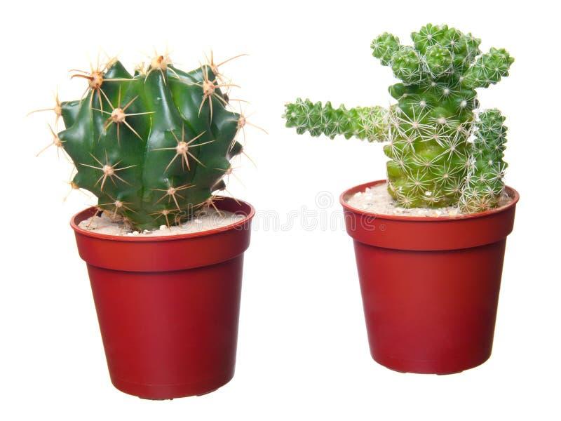 Cactus deux photo stock