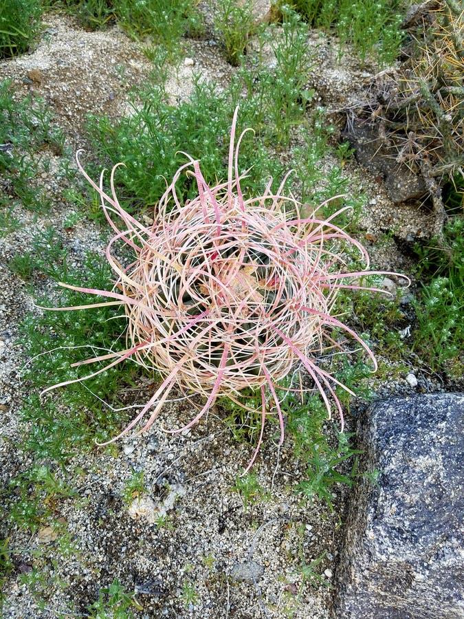 Cactus di barilotto immagini stock
