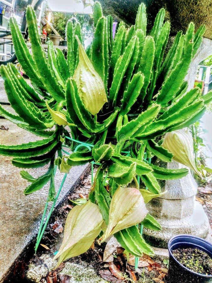 Cactus di Bloomin fotografia stock