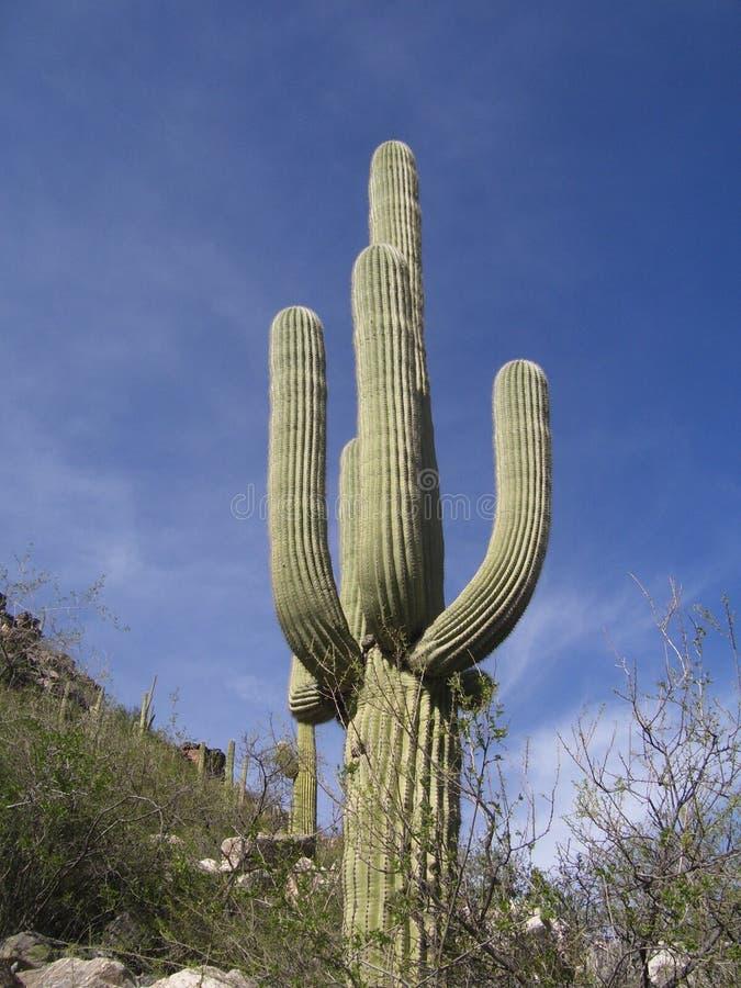 Cactus di Desrt fotografie stock