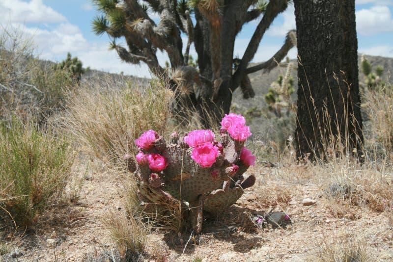 Cactus di fioritura della coda del castoro immagini stock