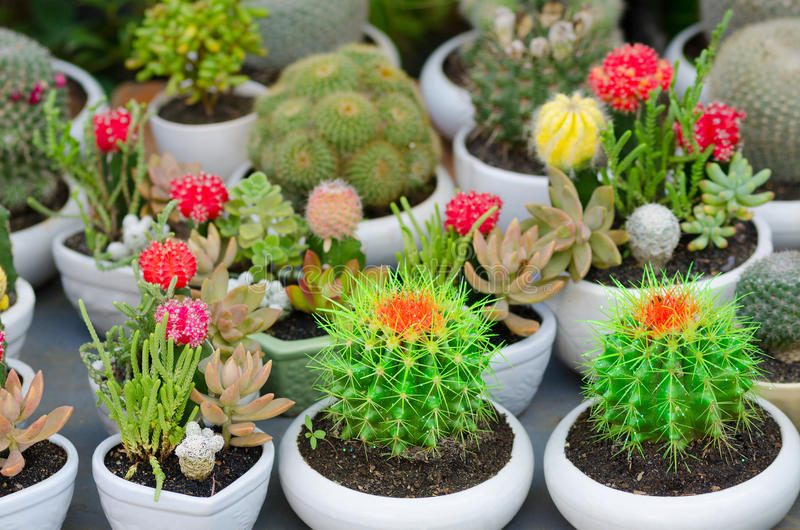 Cactus di fioritura in POT fotografie stock