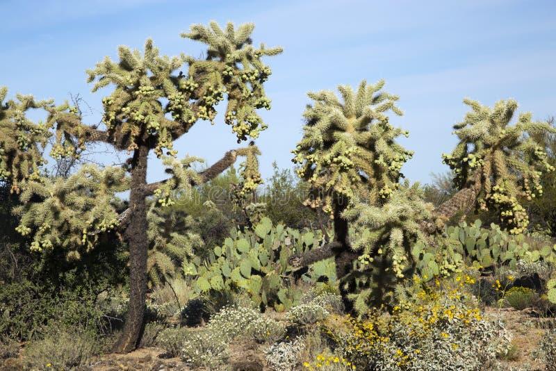 Cactus di salto alto di Cholla in Tucson, Arizona fotografia stock