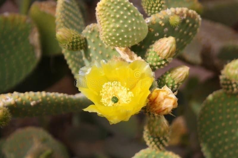 Cactus die met een gele knop bloeien royalty-vrije stock afbeeldingen
