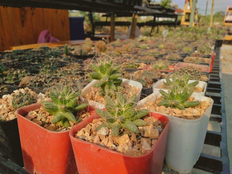 Cactus die prachtig voor het verkopen van vezelpotten wordt geplaatst stock foto's