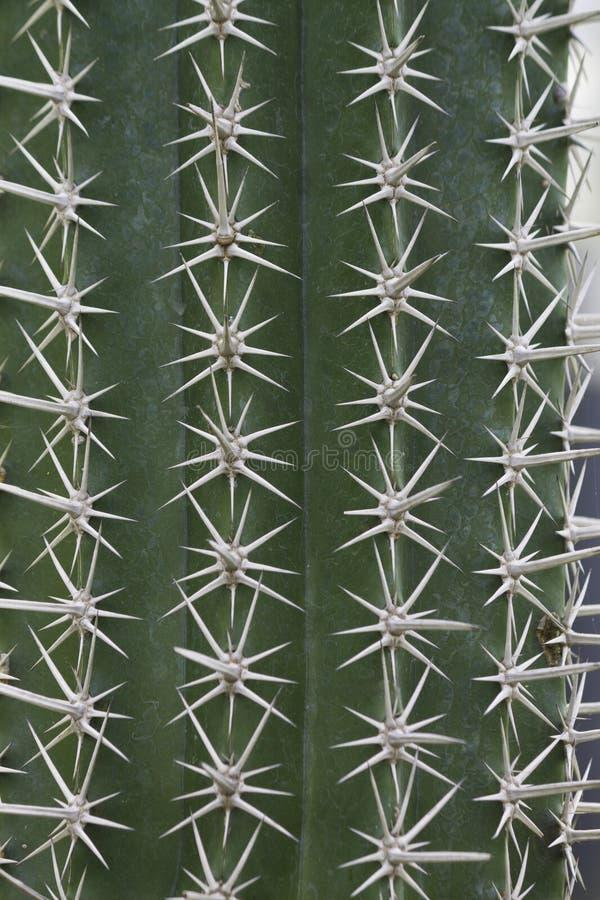 cactus doorn stock afbeeldingen