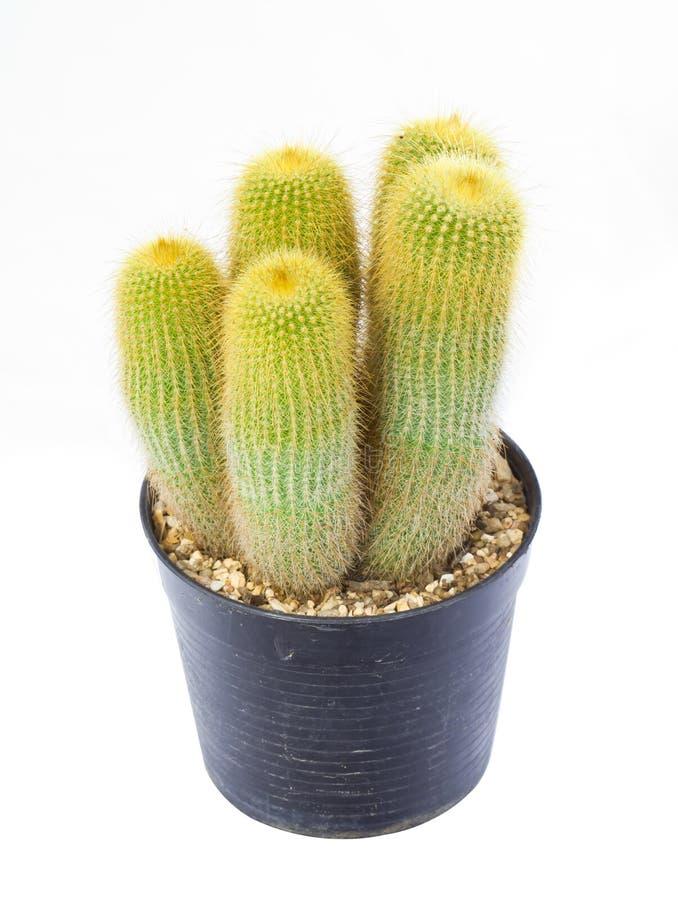 Cactus dorato in vaso su fondo bianco immagine stock