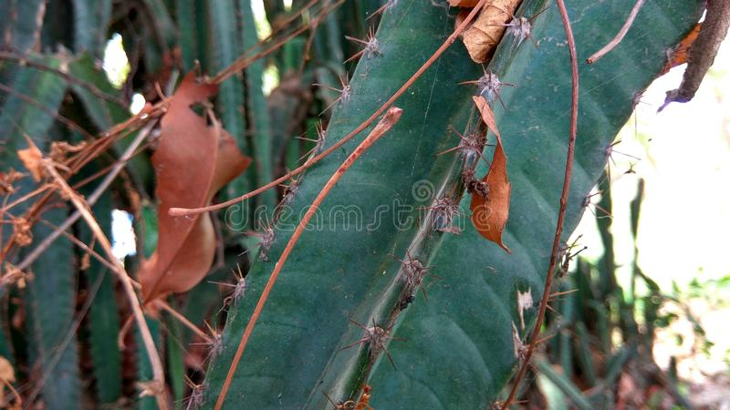 Cactus dried in Summer royalty free stock photography