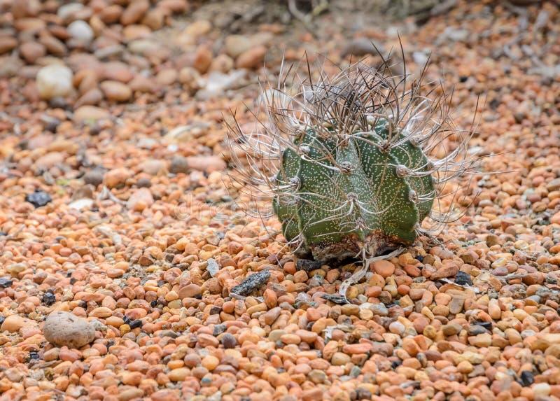Cactus du klaxon de la chèvre sur la pierre colorée image stock