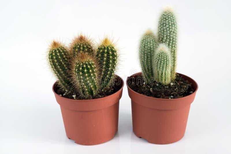 Cactus due in vaso su fondo bianco fotografie stock