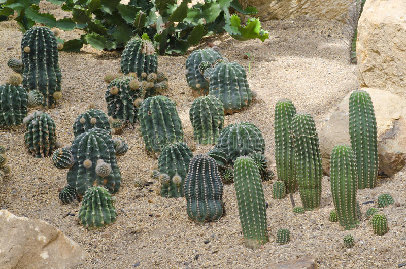 Cactus ,Echinopsis. Cactus plant in the desert is very hot royalty free stock photography