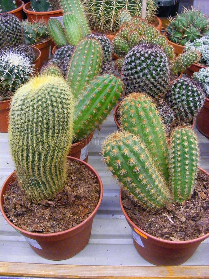 Cactus echinopsis mix in pots, shopping succulents for lifestyle and modern interior design. Echinopsis mix in pots, shopping succulents for lifestyle and modern royalty free stock photography