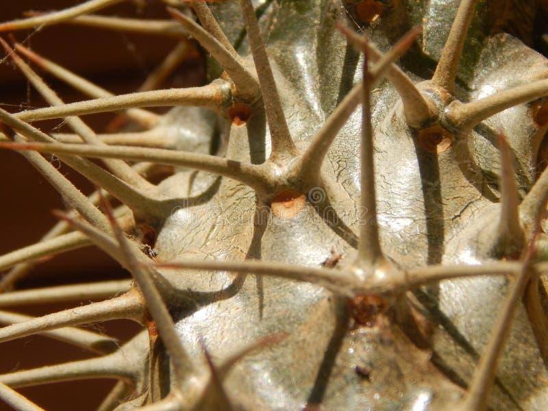 Cactus en épi photographie stock libre de droits