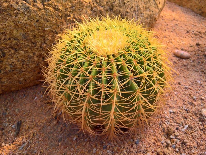 Cactus en épi avec les transitoires jaunes photographie stock libre de droits