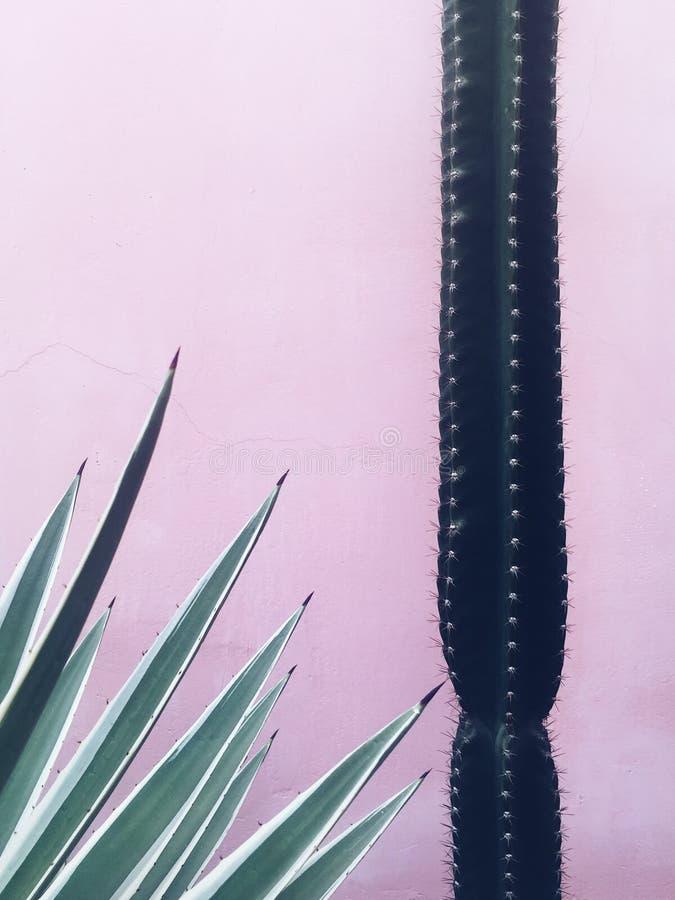 Cactus en agaveinstallatie bij roze muurachtergrond royalty-vrije stock foto's