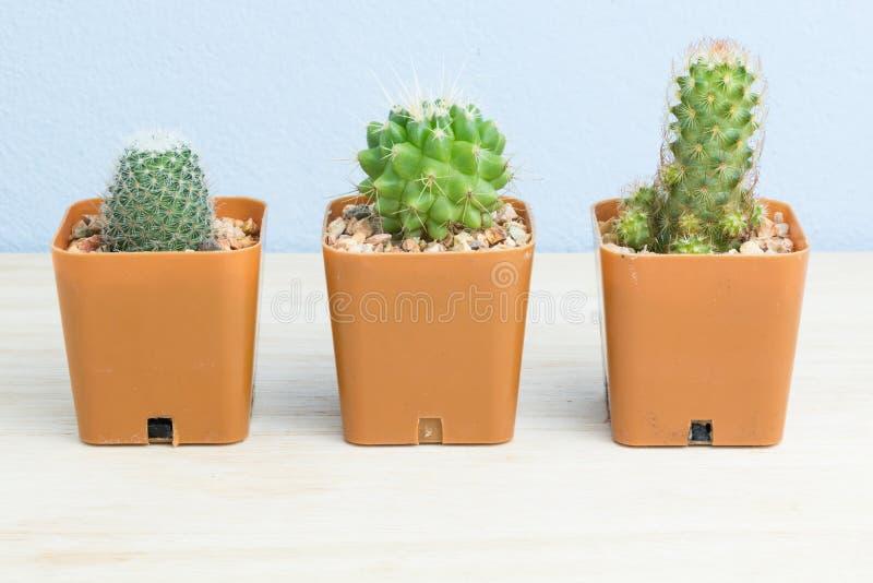 Cactus en conserva tres fotos de archivo libres de regalías